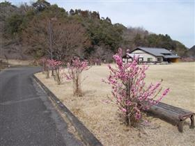 直川ハナモモ7